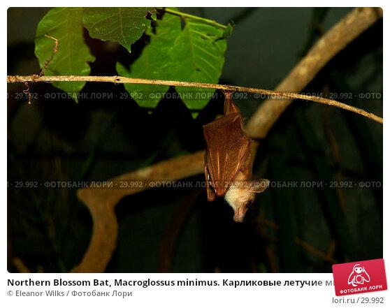 Northern Blossom Bat, Macroglossus minimus. Карликовые летучие мыши., фото № 29992, снято 30 апреля 2007 г. (c) Eleanor Wilks / Фотобанк Лори