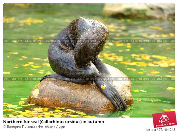 Купить «Northern fur seal (Callorhinus ursinus) in autumn», фото № 27104248, снято 17 октября 2017 г. (c) Валерия Попова / Фотобанк Лори