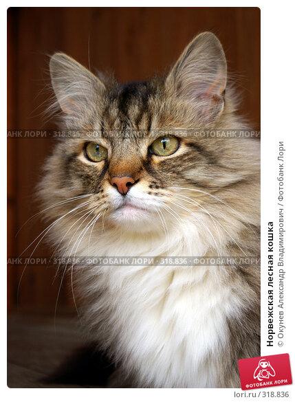 Норвежская лесная кошка, фото № 318836, снято 8 июня 2008 г. (c) Окунев Александр Владимирович / Фотобанк Лори