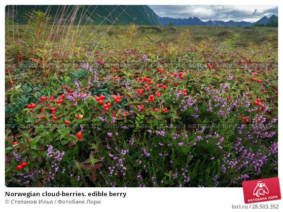 Купить «Norwegian cloud-berries. edible berry», фото № 28503352, снято 21 августа 2017 г. (c) Степанов Илья / Фотобанк Лори