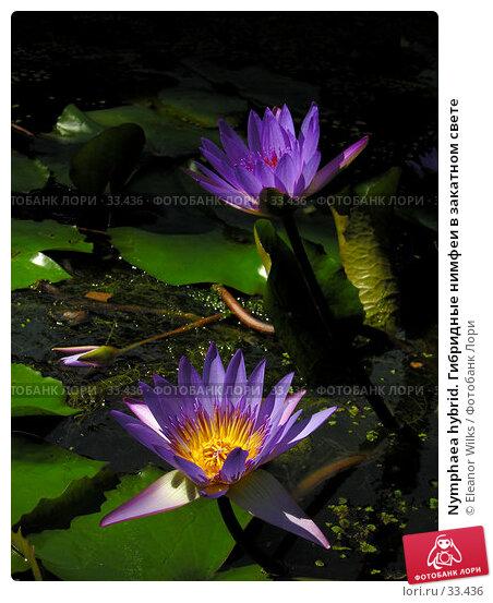 Nymphaea hybrid. Гибридные нимфеи в закатном свете, фото № 33436, снято 30 сентября 2006 г. (c) Eleanor Wilks / Фотобанк Лори