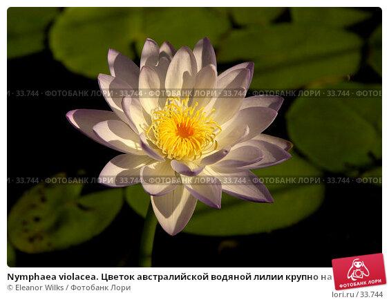 Nymphaea violacea. Цветок австралийской водяной лилии крупно на фоне темной воды и листьев., фото № 33744, снято 7 мая 2007 г. (c) Eleanor Wilks / Фотобанк Лори