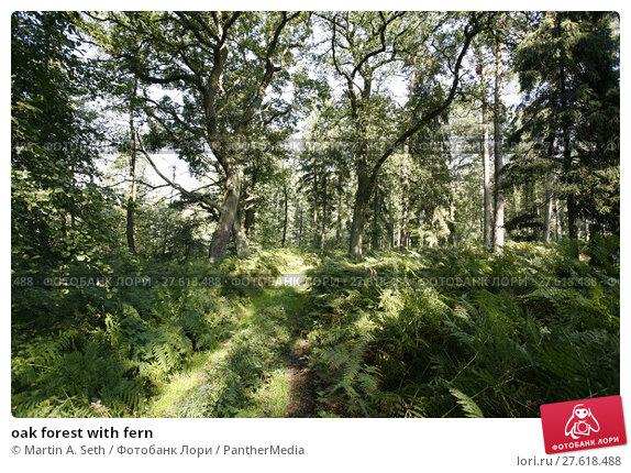 Купить «oak forest with fern», фото № 27618488, снято 19 июня 2019 г. (c) PantherMedia / Фотобанк Лори