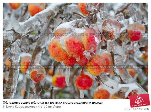 Купить «Обледеневшие яблоки на ветках после ледяного дождя», эксклюзивное фото № 27239280, снято 13 ноября 2016 г. (c) Елена Коромыслова / Фотобанк Лори