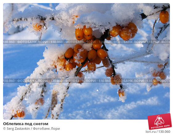 Облепиха под снегом, фото № 130060, снято 21 декабря 2005 г. (c) Serg Zastavkin / Фотобанк Лори