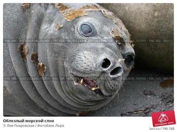 Облезлый морской слон, фото № 196168, снято 15 января 2008 г. (c) Лия Покровская / Фотобанк Лори