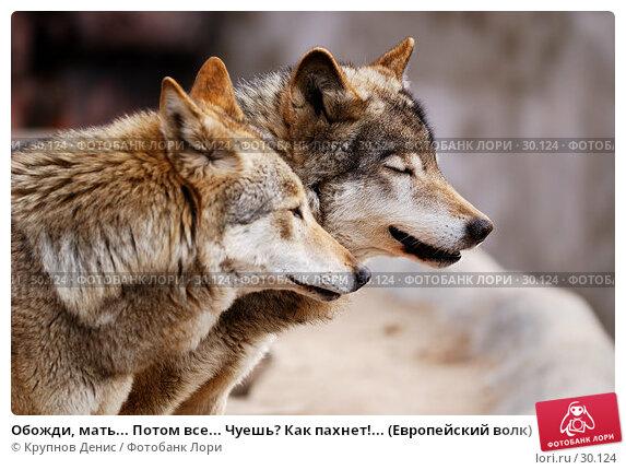 Обожди, мать... Потом все... Чуешь? Как пахнет!... (Европейский волк), фото № 30124, снято 4 марта 2007 г. (c) Крупнов Денис / Фотобанк Лори