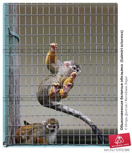 Купить «Обыкновенная беличья обезьяна  (Saimiri sciureus)», фото № 3572560, снято 2 июня 2012 г. (c) Игорь Долгов / Фотобанк Лори