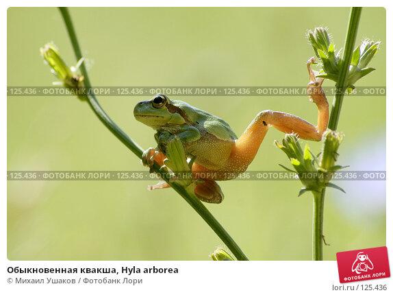 Обыкновенная квакша, Hyla arborea, фото № 125436, снято 7 августа 2007 г. (c) Михаил Ушаков / Фотобанк Лори