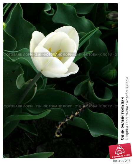 Один белый тюльпан, эксклюзивное фото № 216, снято 7 мая 2004 г. (c) Ирина Терентьева / Фотобанк Лори