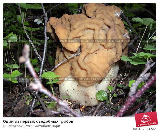 Один из первых съедобных грибов, фото № 111568, снято 23 мая 2004 г. (c) Parmenov Pavel / Фотобанк Лори