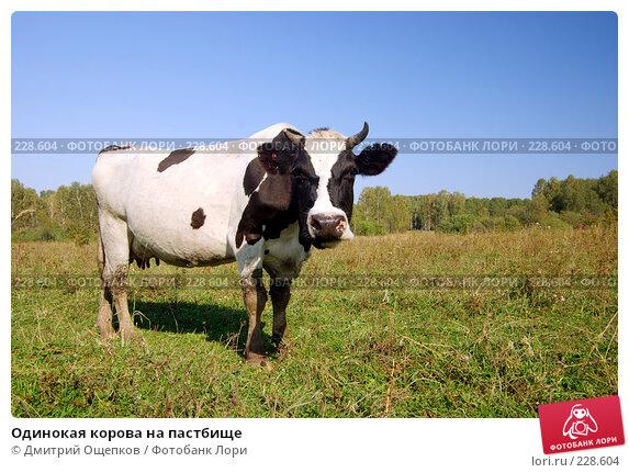 Одинокая корова на пастбище, фото № 228604, снято 2 сентября 2007 г. (c) Дмитрий Ощепков / Фотобанк Лори