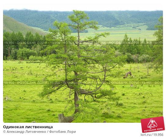 Одинокая лиственница, фото № 19956, снято 15 июля 2006 г. (c) Александр Литовченко / Фотобанк Лори