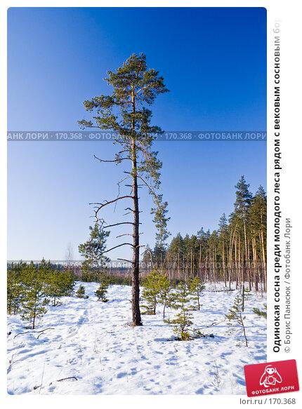 Одинокая сосна среди молодого леса рядом с вековым сосновым бором, фото № 170368, снято 31 декабря 2007 г. (c) Борис Панасюк / Фотобанк Лори