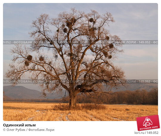 Одинокий ильм, фото № 149052, снято 13 декабря 2007 г. (c) Олег Рубик / Фотобанк Лори