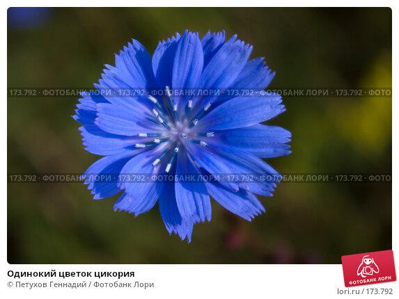 Одинокий цветок цикория, фото № 173792, снято 24 июня 2007 г. (c) Петухов Геннадий / Фотобанк Лори