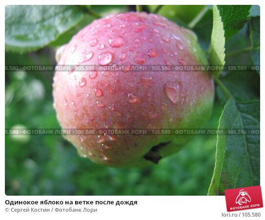 Одинокое яблоко на ветке после дождя, фото № 105580, снято 9 сентября 2006 г. (c) Сергей Костин / Фотобанк Лори