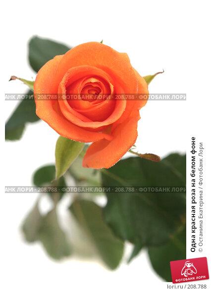 Одна красная роза на белом фоне, фото № 208788, снято 27 января 2008 г. (c) Останина Екатерина / Фотобанк Лори