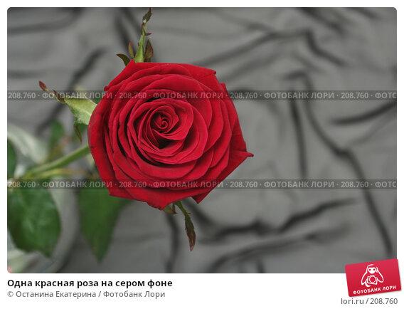 Одна красная роза на сером фоне, фото № 208760, снято 15 января 2008 г. (c) Останина Екатерина / Фотобанк Лори