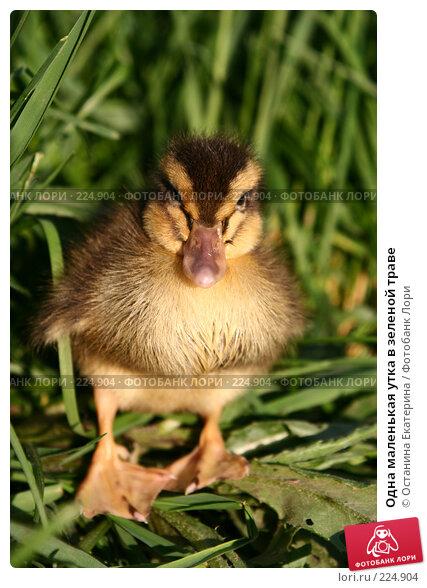 Купить «Одна маленькая утка в зеленой траве», фото № 224904, снято 25 мая 2007 г. (c) Останина Екатерина / Фотобанк Лори