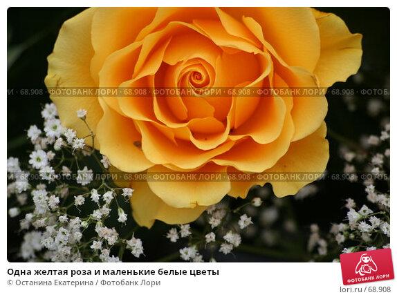 Одна желтая роза и маленькие белые цветы, фото № 68908, снято 19 февраля 2007 г. (c) Останина Екатерина / Фотобанк Лори