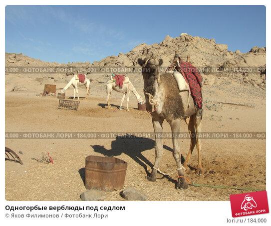 Одногорбые верблюды под седлом, фото № 184000, снято 13 января 2008 г. (c) Яков Филимонов / Фотобанк Лори