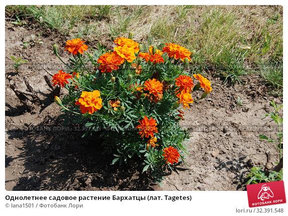 Купить «Однолетнее садовое растение Бархатцы (лат. Tagetes)», эксклюзивное фото № 32391548, снято 17 июля 2010 г. (c) lana1501 / Фотобанк Лори