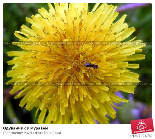Одуванчик и муравей, фото № 104760, снято 25 октября 2016 г. (c) Parmenov Pavel / Фотобанк Лори