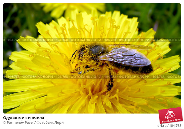 Купить «Одуванчик и пчела», фото № 104768, снято 22 апреля 2018 г. (c) Parmenov Pavel / Фотобанк Лори