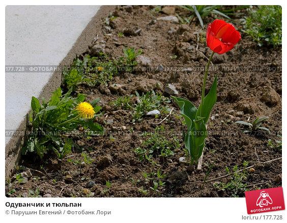 Одуванчик и тюльпан, фото № 177728, снято 24 мая 2017 г. (c) Парушин Евгений / Фотобанк Лори