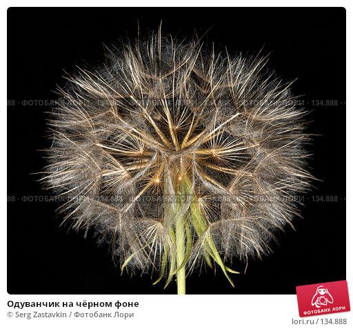 Купить «Одуванчик на чёрном фоне», фото № 134888, снято 5 августа 2006 г. (c) Serg Zastavkin / Фотобанк Лори