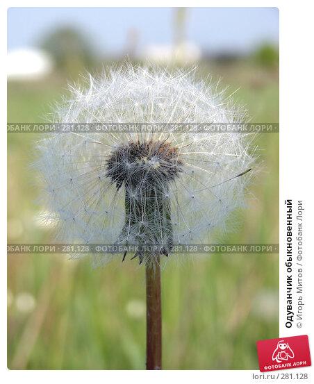 Одуванчик обыкновенный, фото № 281128, снято 11 мая 2008 г. (c) Игорь Митов / Фотобанк Лори