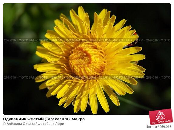 Одуванчик желтый (Taraxacum), макро, эксклюзивное фото № 269016, снято 30 апреля 2008 г. (c) Алёшина Оксана / Фотобанк Лори