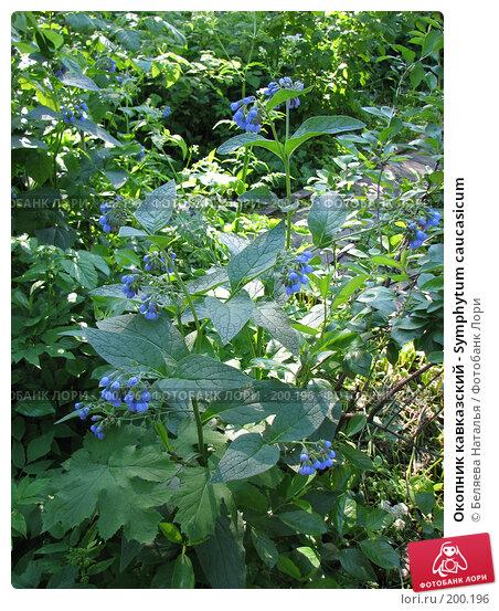 Окопник кавказский - Symphytum caucasicum, фото № 200196, снято 16 июня 2007 г. (c) Беляева Наталья / Фотобанк Лори