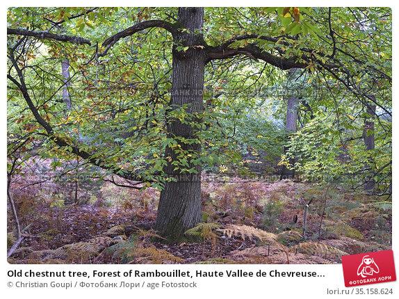 Old chestnut tree, Forest of Rambouillet, Haute Vallee de Chevreuse... Стоковое фото, фотограф Christian Goupi / age Fotostock / Фотобанк Лори