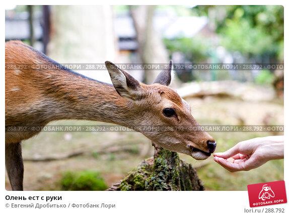 Купить «Олень ест с руки», фото № 288792, снято 11 сентября 2007 г. (c) Евгений Дробитько / Фотобанк Лори