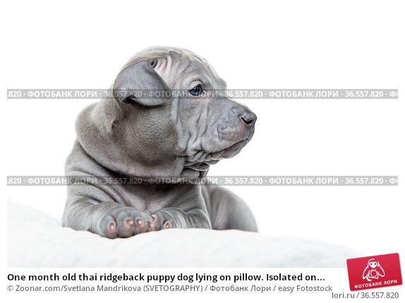 One month old thai ridgeback puppy dog lying on pillow. Isolated on... Стоковое фото, фотограф Zoonar.com/Svetlana Mandrikova (SVETOGRAPHY) / easy Fotostock / Фотобанк Лори