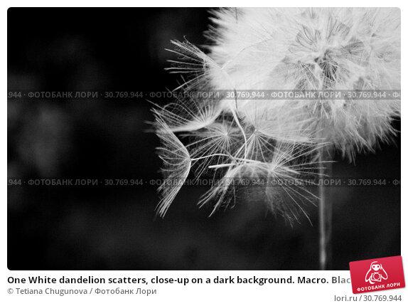 Купить «One White dandelion scatters, close-up on a dark background. Macro. Black and white, monochrome», фото № 30769944, снято 5 июня 2017 г. (c) Tetiana Chugunova / Фотобанк Лори