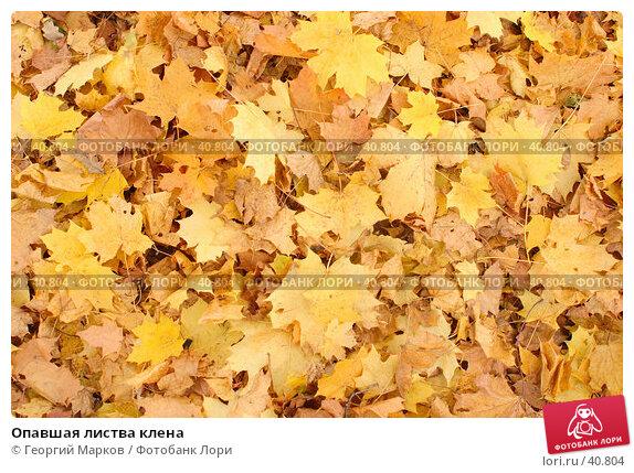 Опавшая листва клена, фото № 40804, снято 8 октября 2005 г. (c) Георгий Марков / Фотобанк Лори