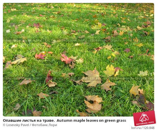 Опавшие листья на траве.  Autumn maple leaves on green grass, фото № 120848, снято 2 октября 2005 г. (c) Losevsky Pavel / Фотобанк Лори