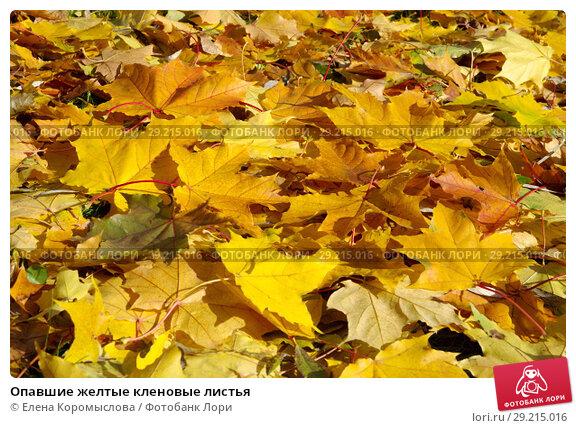 Купить «Опавшие желтые кленовые листья», фото № 29215016, снято 9 октября 2018 г. (c) Елена Коромыслова / Фотобанк Лори