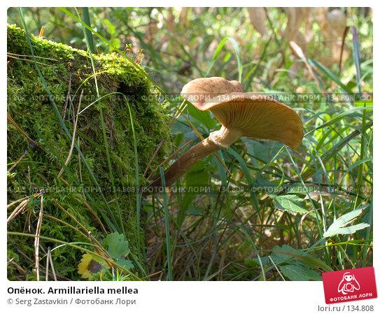 Опёнок. Armillariella mellea, фото № 134808, снято 16 сентября 2004 г. (c) Serg Zastavkin / Фотобанк Лори