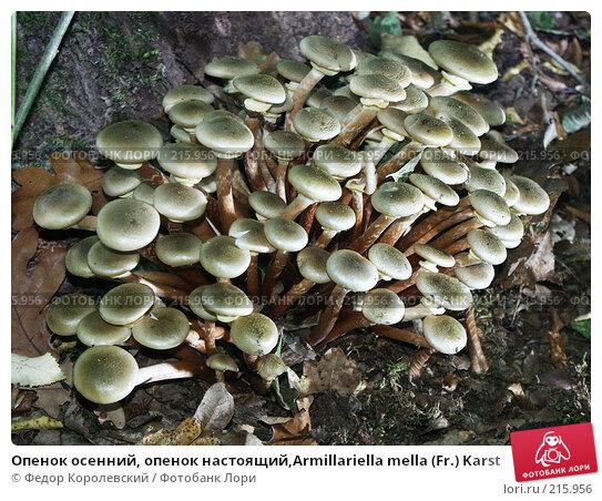 Опенок осенний, опенок настоящий,Armillariella mella (Fr.) Karst, фото № 215956, снято 7 октября 2003 г. (c) Федор Королевский / Фотобанк Лори
