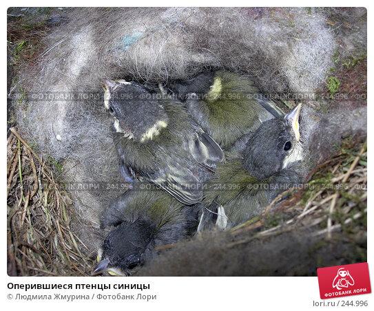 Оперившиеся птенцы синицы, фото № 244996, снято 8 июня 2007 г. (c) Людмила Жмурина / Фотобанк Лори