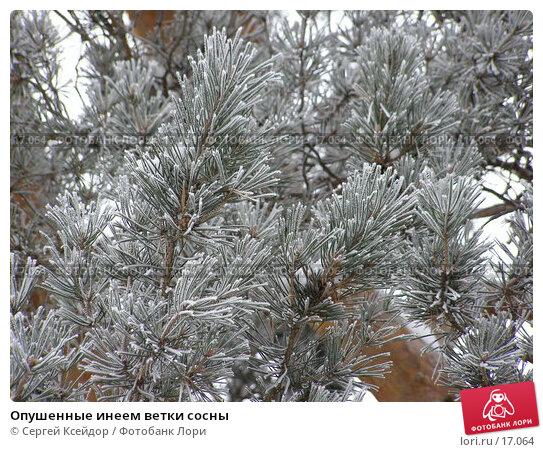 Опушенные инеем ветки сосны, фото № 17064, снято 25 января 2007 г. (c) Сергей Ксейдор / Фотобанк Лори