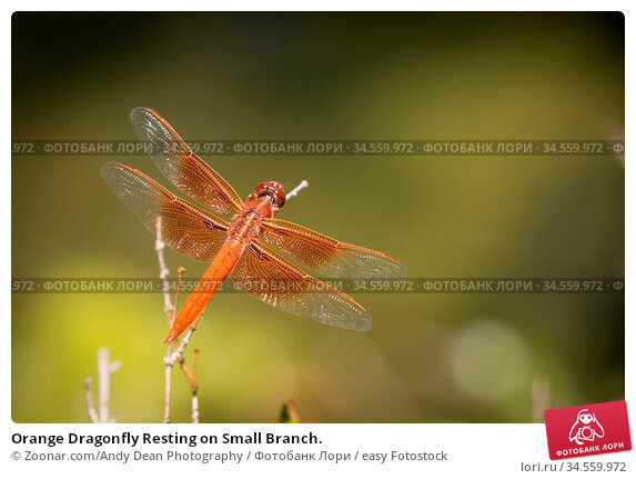 Orange Dragonfly Resting on Small Branch. Стоковое фото, фотограф Zoonar.com/Andy Dean Photography / easy Fotostock / Фотобанк Лори