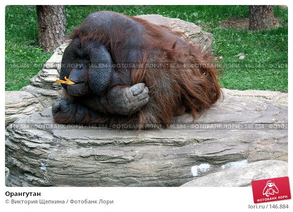 Орангутан, фото № 146884, снято 19 сентября 2007 г. (c) Виктория Щепкина / Фотобанк Лори