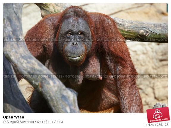 Купить «Орангутан», фото № 285128, снято 1 июня 2006 г. (c) Андрей Армягов / Фотобанк Лори
