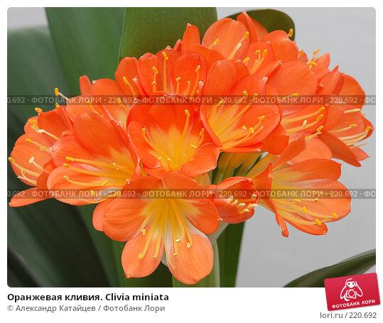 Оранжевая кливия. Clivia miniata, фото № 220692, снято 8 марта 2008 г. (c) Александр Катайцев / Фотобанк Лори