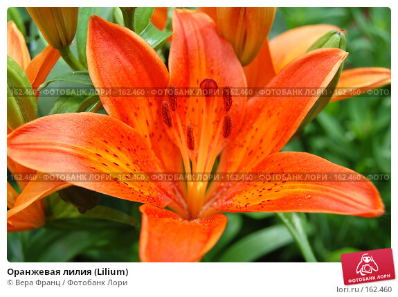 Оранжевая лилия (Lilium), фото № 162460, снято 2 июня 2007 г. (c) Вера Франц / Фотобанк Лори